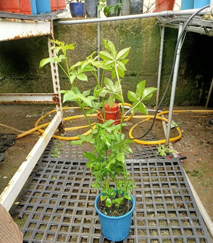 李家果苗 刺五加 香草植物 單價120元