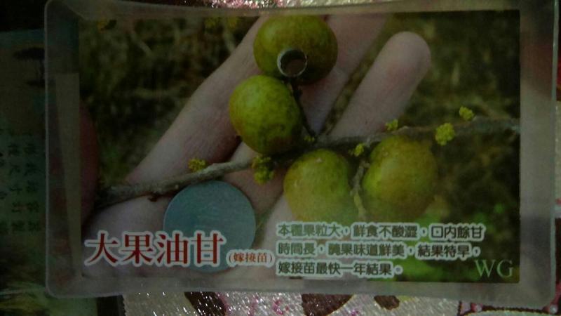 花田厝_水果苗—大果油甘--鮮食入口微有酸感~如蛋珠大小/4吋高約20-30cm