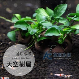 【AC草影】天空樹屋【一個】陰性水草 前景草 前景水草 不需要CO2