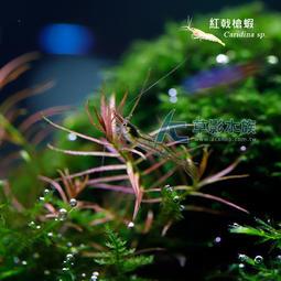 【AC草影】紅戟槍蝦【十一隻】淡水蝦