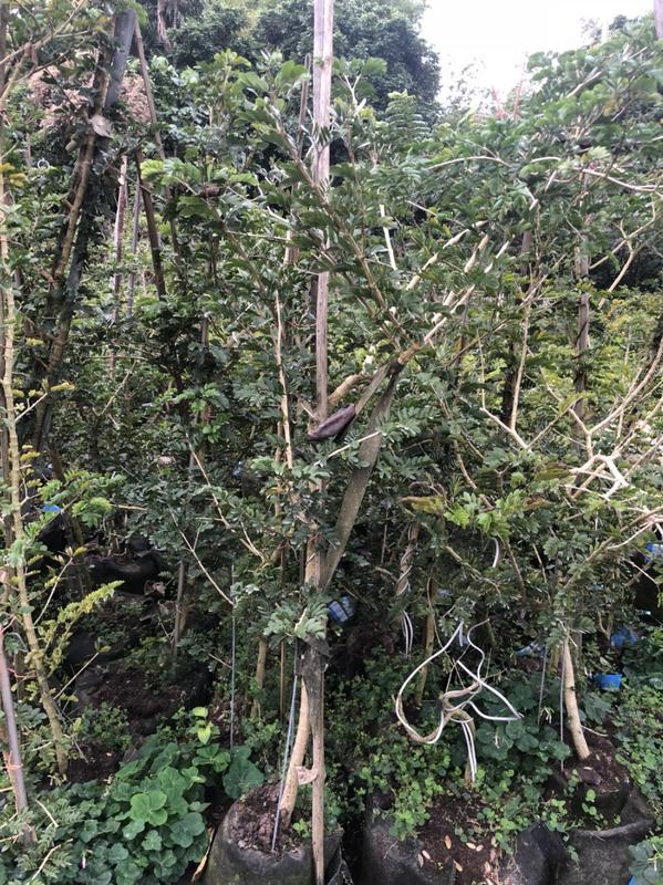 羅漢門園藝 出售 神聖癒創木Guaiacum sanctum  1.4尺美植袋5年生 4-5尺 3500