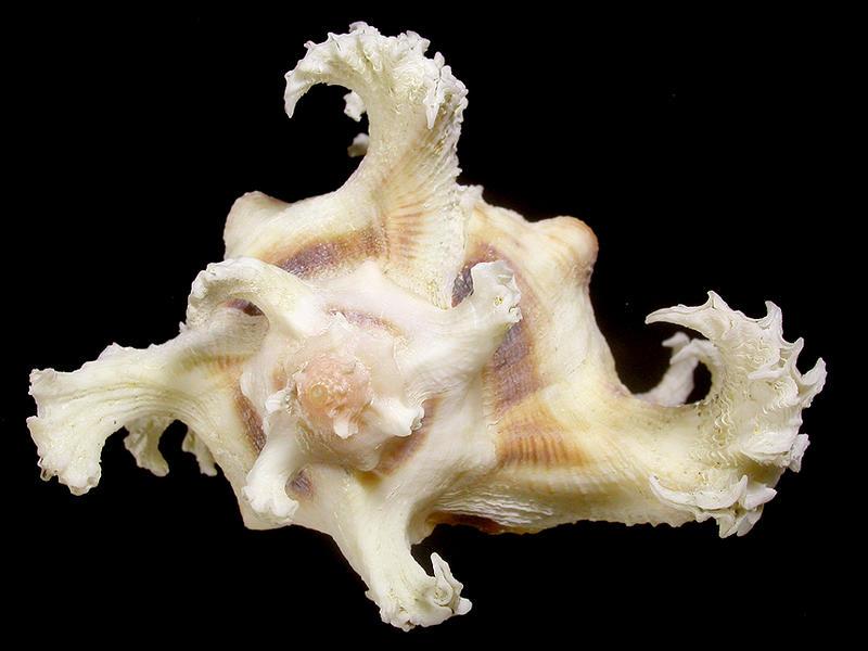 <寶貝窩>貝殼標本*Muricidae骨螺科:Chicoreus ramosus-大千手螺