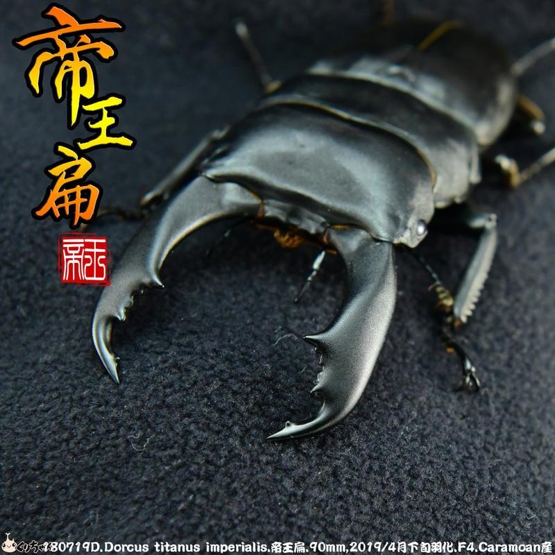【酷力將】帝王扁(♂90mm ♀43-44mm) 呂宋島Caramoan產 成蟲成對