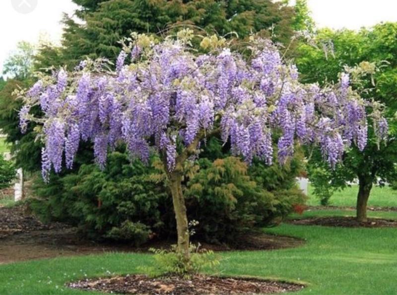 南非樹紫藤穴盤苗(128孔)需預訂