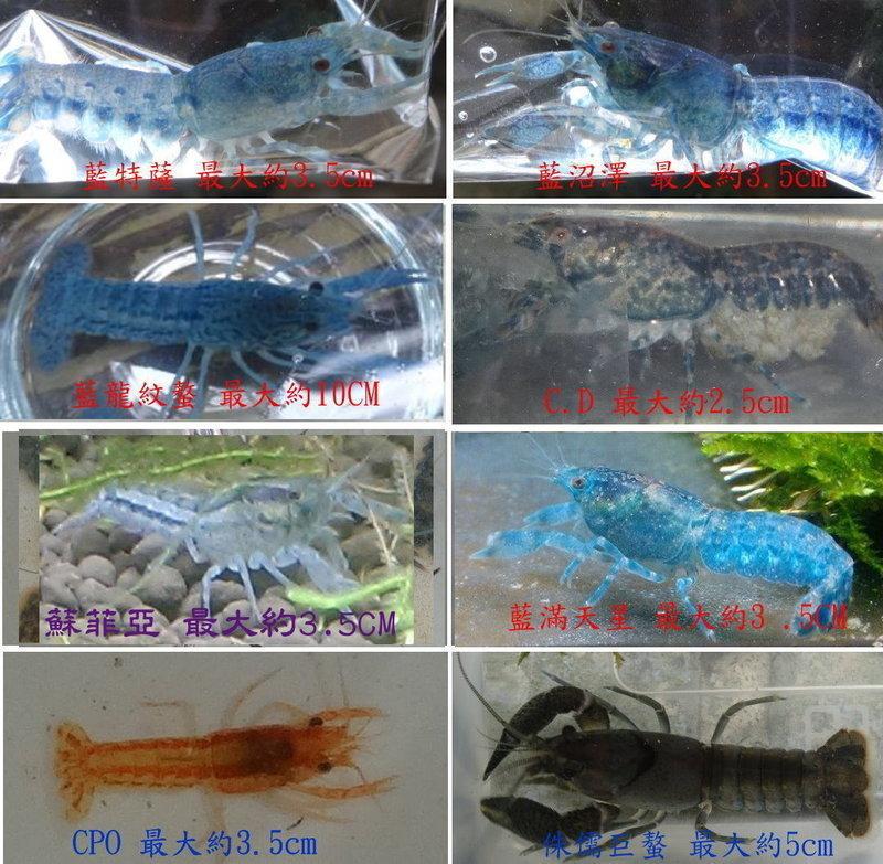 藍滿天星螯蝦─侏儒螯蝦