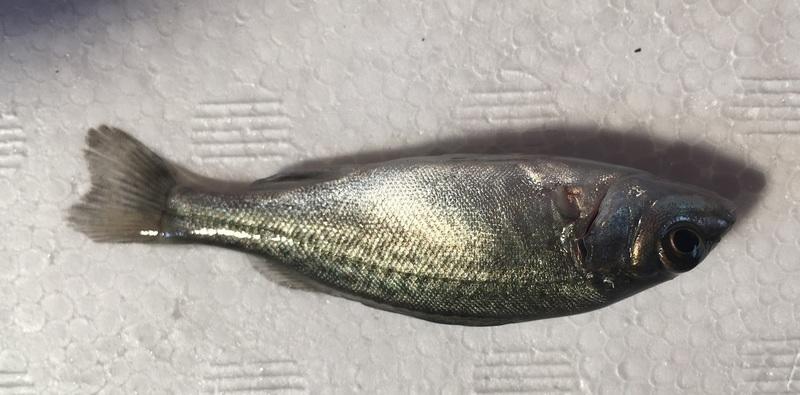 銀鱸,貴妃魚
