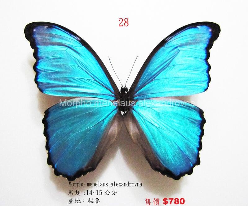 蟲新發現╭○-○╮蝴蝶標本A1~大藍摩爾弗蝶  展翅14CM  產地:秘魯