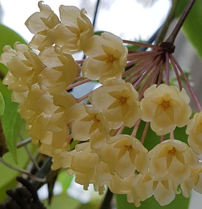 Hoya blashernaezii 黃鈴鐺