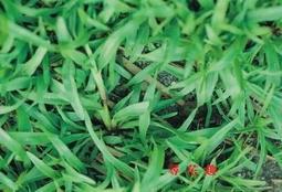 尋花趣 類地毯草種子 愛芬地毯草種子 粉衣種子   1公斤/5包 免運費( 7-11可寄2組 其他超商1組)
