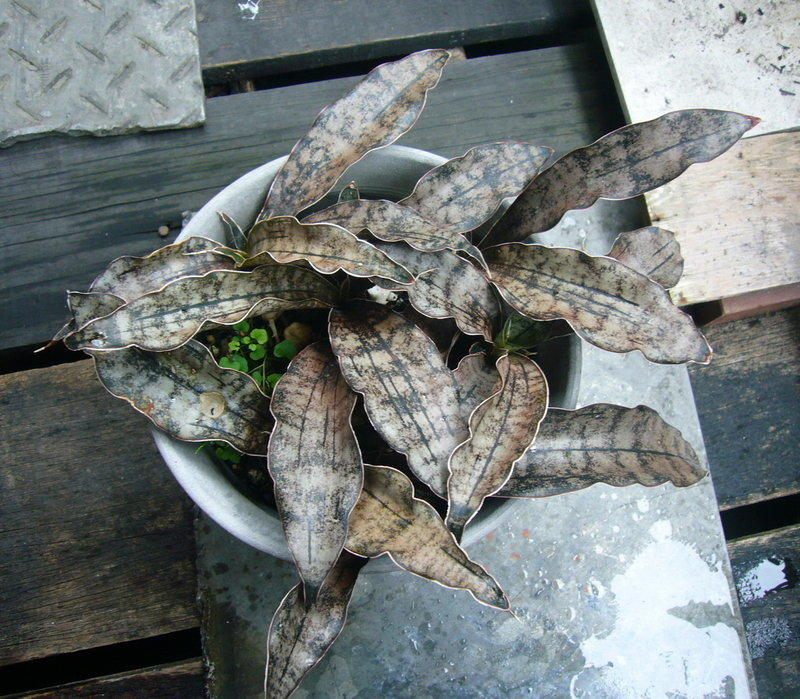 虎尾蘭--Sansevieria kirkii var. pulchra 'Coppertone'