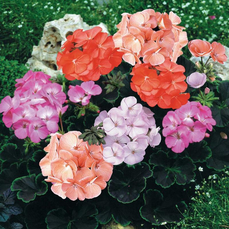 【花之鄉小舖】進口高級日本花卉種子--天竺葵 牛眼-混合色