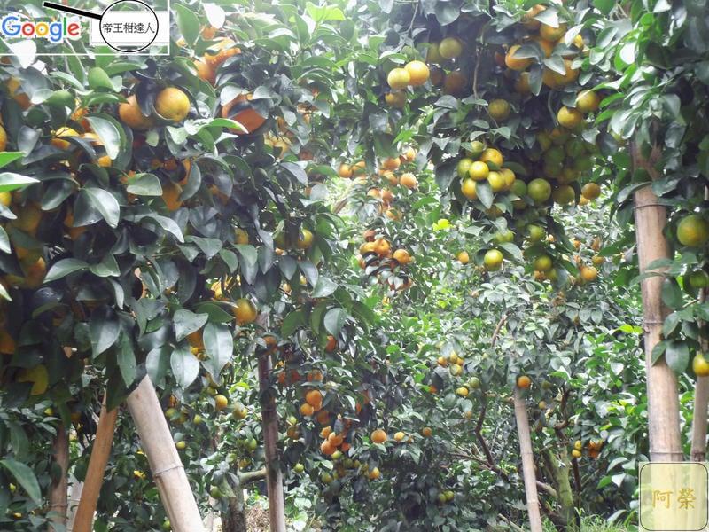"""竹山「砂糖橘」A+B級各1箱共約7斤""""先詢問再下單""""11月底採收,,愈小棵愈好吃,香澄飽滿,果香味甜,沙糖橘砂糖桔。"""