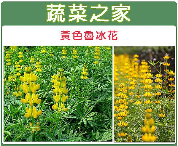 【蔬菜之家】H10.黃色魯冰花(黃花)種子20顆(根系發達,生長迅速,耐旱、耐寒。可當觀賞或是綠肥植物)