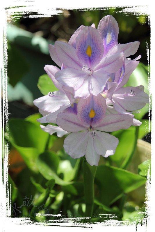 【水畝田】 25株100元 矮布袋蓮 (園藝、漂浮、水生植物、水草、DIY 盆栽素材)
