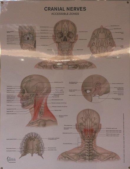 美國原裝進口***Cranial Nerves Wall Chart 腦神經海報***