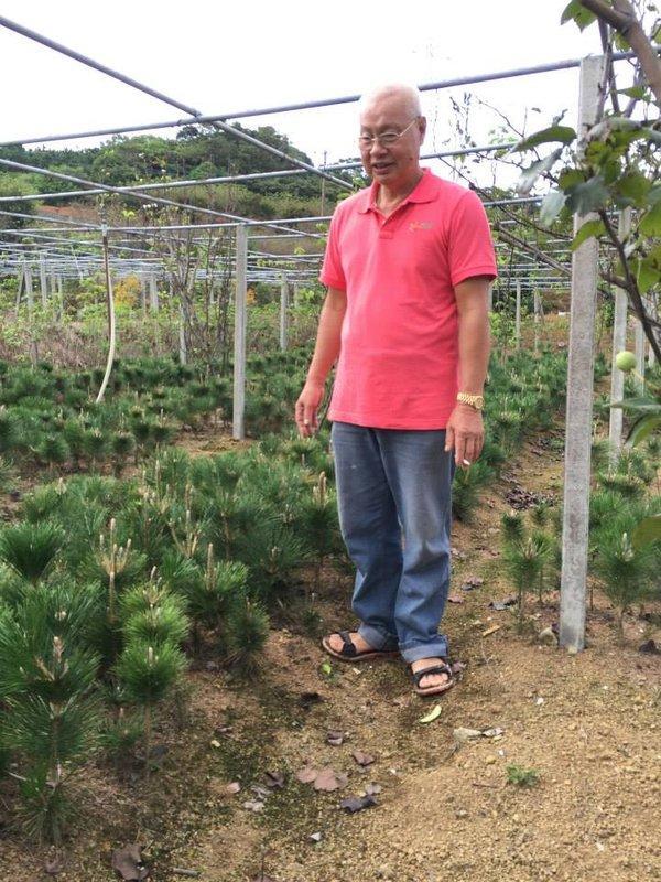 三河松樹苗,另有吉野櫻,八重櫻,黑松,七里香,樹梅等樹苗,歡迎參觀選購