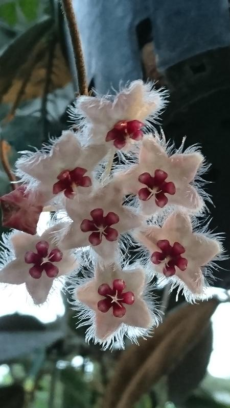 Hoya caudata hooker 雲葉