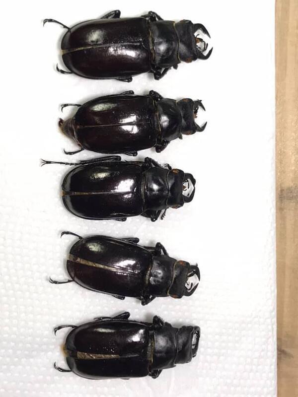Eolucanus davidis.大衛擬深山(all size) 公蟲