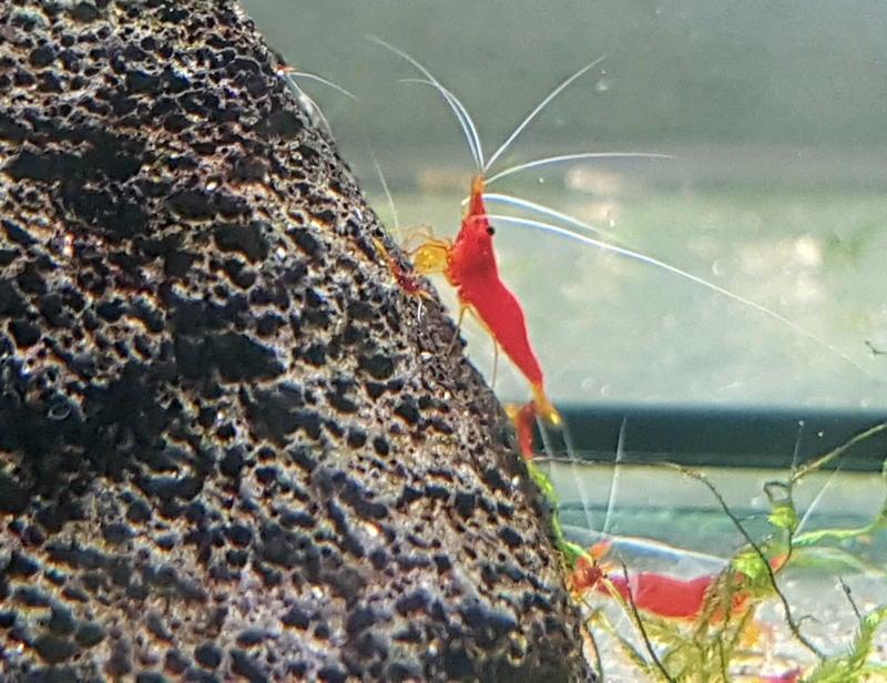蘇蝦 黃鼻蝦 黃鼻紅蜂 白鬚血櫻桃蝦