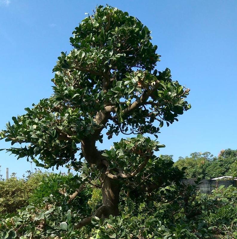 [松美園藝]本園現有山柑樹樹齡二十七年高度五米左右頭徑十二公分左右歡迎您來鑑賞