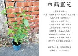 心栽花坊-白鶴靈芝/5吋盆/香料香草藥用食用植物/售價120特價100