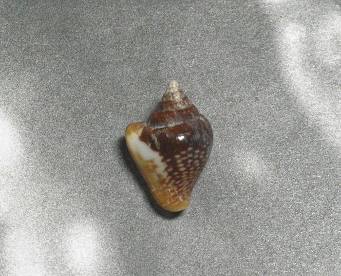 珊瑚礁雅築~Columbella major 24.1mm.Panama(eb7626)