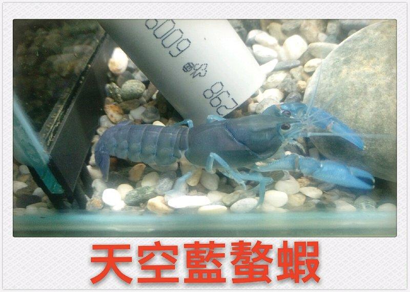 龍雲水族觀賞魚,蝦批發,零售,天空藍螯蝦(1對),各式各樣螯蝦,外島,全省配送