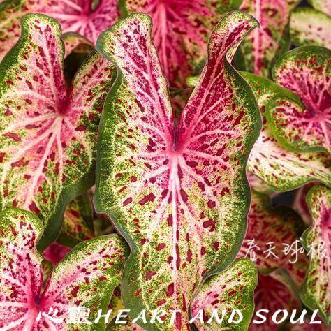 (春天球根)彩葉芋 Calidium美國進口  心靈HEART AND SOUL