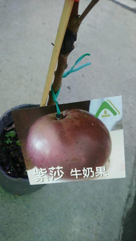 花花世界_季節水果--紫莎牛奶果--**新品種**/4吋盆/高30-50公分/TC