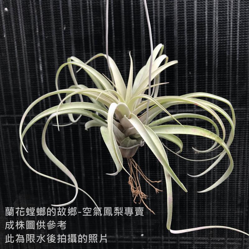 空氣鳳梨 軟葉卡比(L) Tillandsia capitata