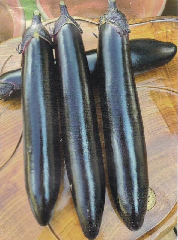 【大包裝蔬菜種子L339】 黑豹長茄~座果力強,果實長且大,果長平均35~38公分,果徑6~7公分,單果重約350公克
