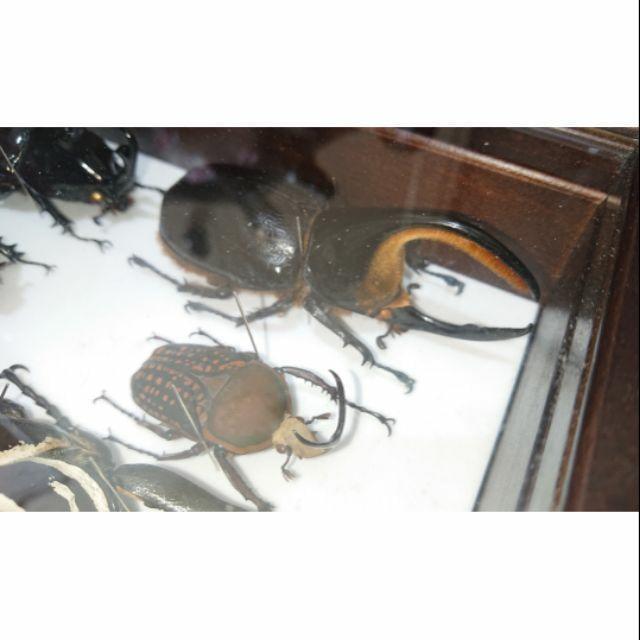 【已售出】僅有撒旦大兜蟲 甲蟲 標本 Dynastes satanas 不可展翅 乾貨標本鍬型