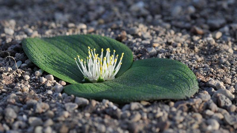 南非魔鏡Massonia depressa種子5顆
