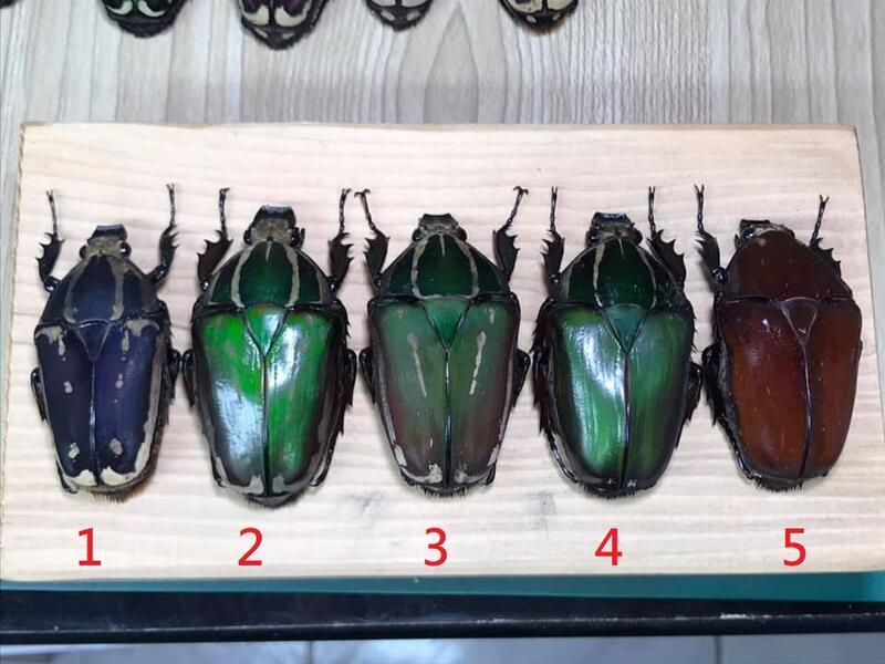 多色Mecynorhina torquata ugandensis.烏干達角金龜(母蟲)