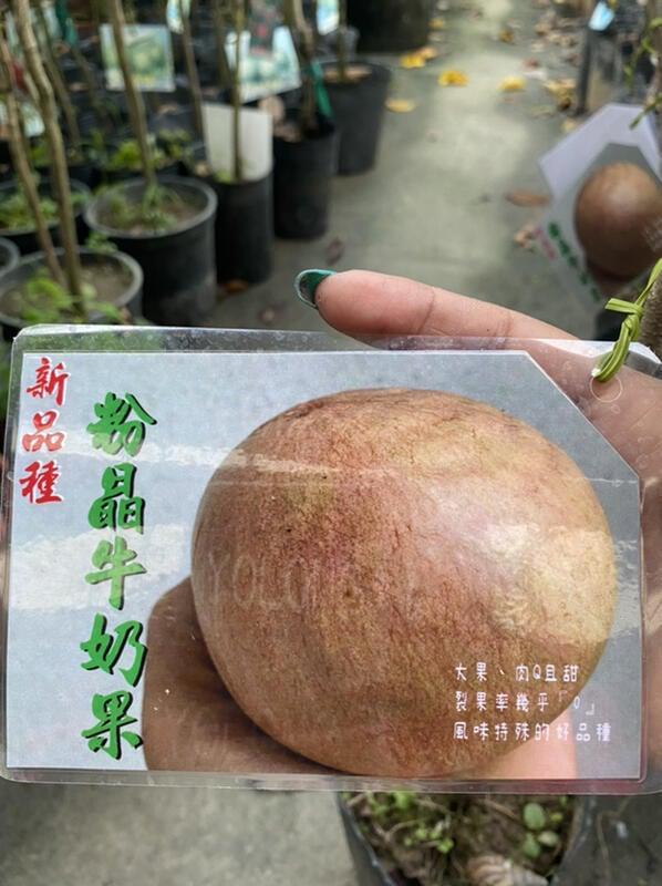 ( 花園小果樹 ) - 粉晶牛奶果 (耐水性極佳、不裂果)