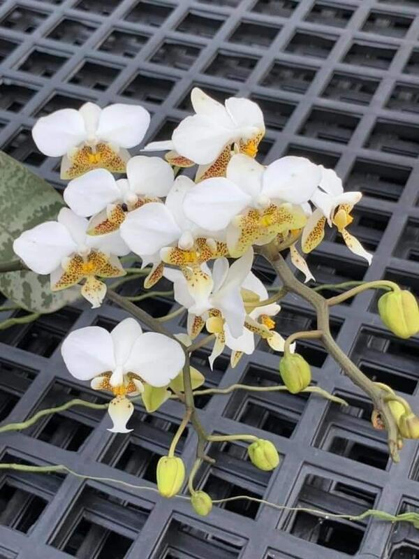 【芃程蘭舍】Phal. stuartiana 香花 1.7吋分生苗