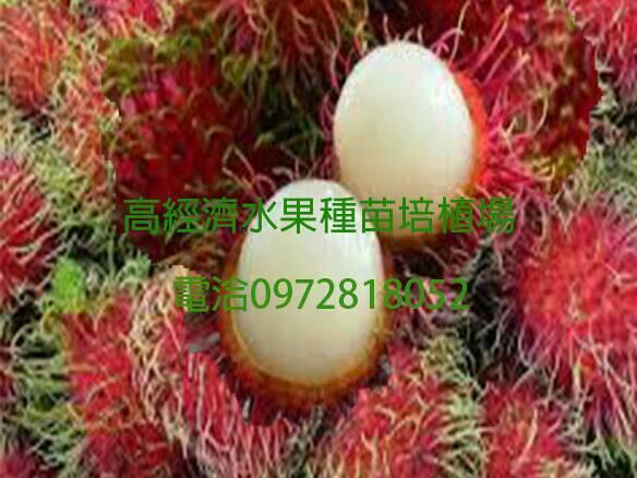 紅毛丹各種品種嫁接苗大中小0972818052