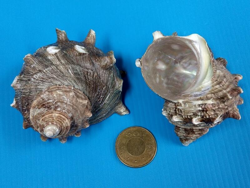 角蠑螺(隨機出貨)