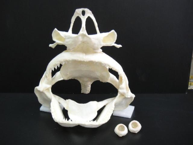 直翅真鯊頭骨1