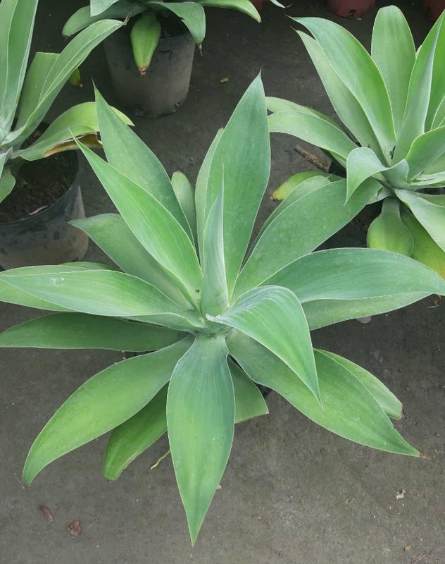 花田厝_觀賞綠化植物—翠綠龍舌蘭--植株造型優美~多年生植物/8吋高約40cm