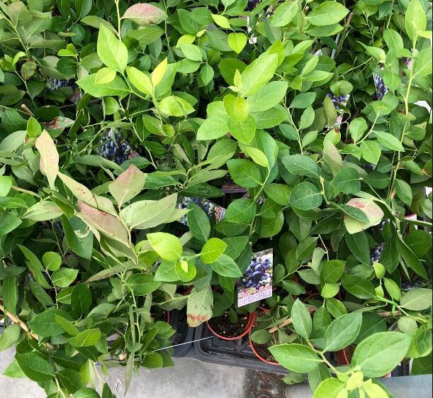 花田厝_水果苗--暖地小藍莓--全國平地、山地皆可種植~高級的天然水果 /3.5吋高約10-15cm