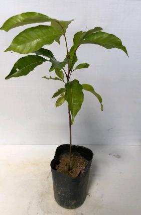 花芸茜園藝--水果苗--紅毛丹--又名毛荔枝.酸甜可口/4吋高約20-50cm