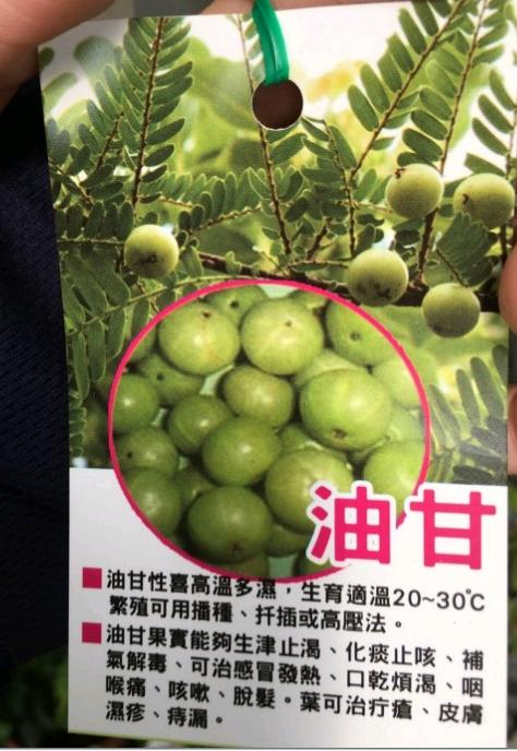 花芸茜園藝--水果苗--油甘 油柑 (油甘子 餘甘子) ** 4吋盆/高40-60cm/食用藥用植物