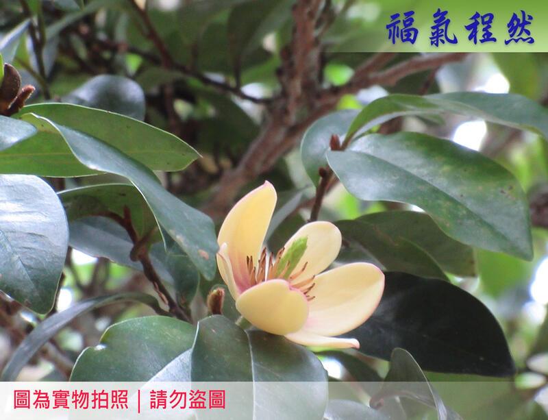 [福氣程然]  新鮮含笑花朵 含笑 含笑梅 笑梅 香蕉花  山節子 白蘭花|(小農自家生長)<已售完>