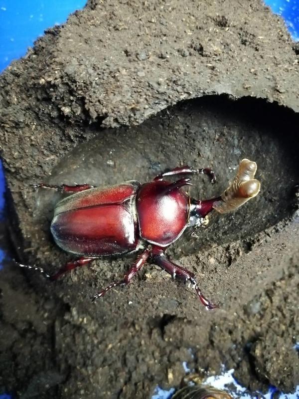 【甲蟲的聖地】台灣獨角仙成對70+mm