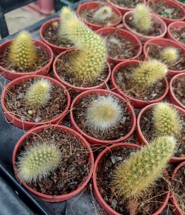 猴尾巴 軟毛 猴尾柱 仙人掌 多肉植物 觀賞綠化植物 室內植物 觀葉植物 室外植物
