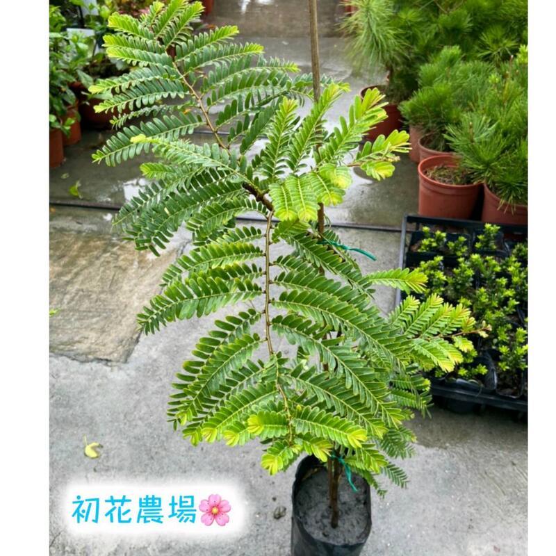 初花農場 油甘 4.5吋盆 果樹 實生苗----定價160特價140