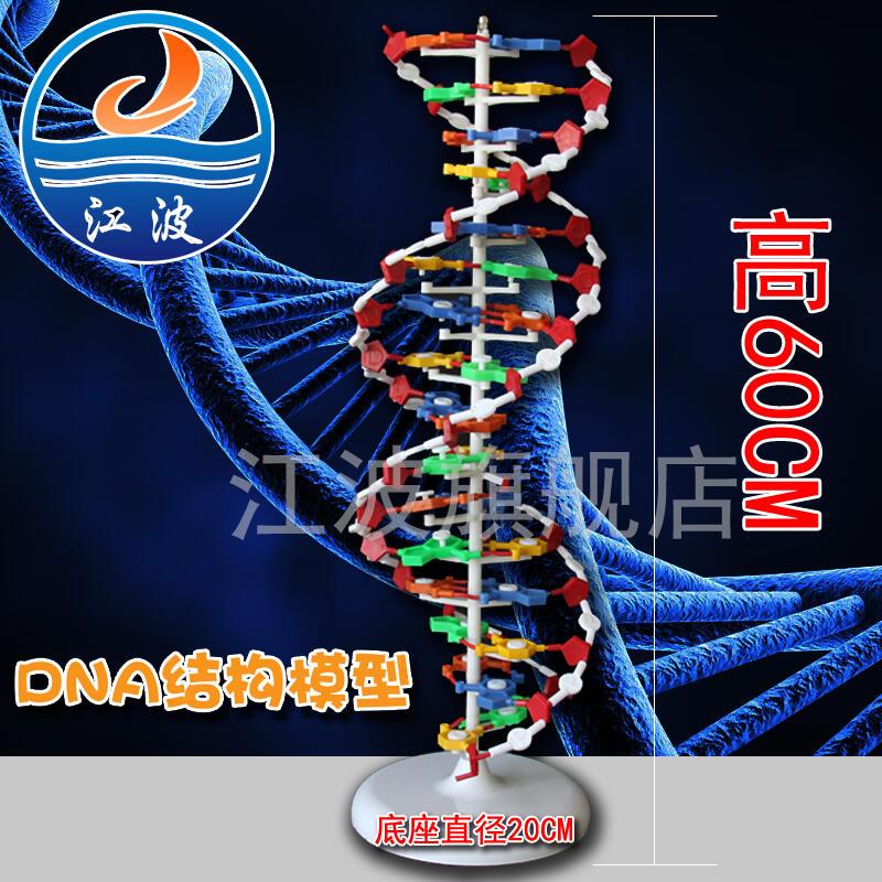 【現貨促銷】DNA雙螺旋結構模型大號J33306雙螺旋60cm高中鹼基對遺傳基因生物教學
