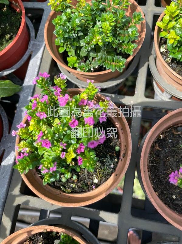 ☆萬花叢★灌木植物☆【雪茄花】★3吋盆★高約3-5cm